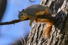 Ardilla de Fox que pone en la rama que mueve de un tirón de cámara Fotos de archivo libres de regalías