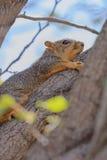 Ardilla de Fox que se aferra en el fondo del cielo azul del miembro de árbol Fotos de archivo libres de regalías