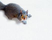Ardilla de gris del este Foto de archivo libre de regalías