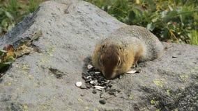 Ardilla de tierra ártica que come las semillas en roca kamchatka almacen de metraje de vídeo