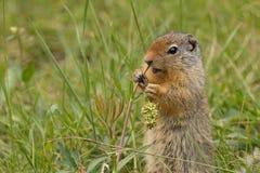 Ardilla de tierra colombina que come la hierba en Al del parque nacional de Banff foto de archivo