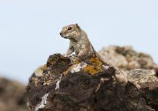Ardilla de tierra de Barbary en Fuerteventura, España foto de archivo