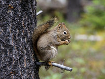 Ardilla de tierra de Columbia en Jasper National Park Fotografía de archivo libre de regalías