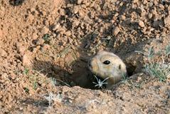 Ardilla de tierra en el agujero Fotos de archivo