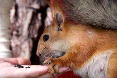 Ardilla del bosque del pelirrojo que come de la mano en un canal de alimentación Imagen de archivo libre de regalías