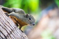 Ardilla delgada curiosa que se sienta en un árbol, Malasia Fotos de archivo