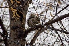 Ardilla detrás de ramas Imagen de archivo