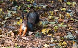 Ardilla El otoño anaranjado de la ardilla prepara las fuentes para el invierno foto de archivo libre de regalías