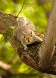 Ardilla en árbol Fotografía de archivo libre de regalías