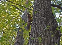 Ardilla en árbol Fotos de archivo