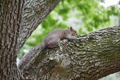 Ardilla en árbol Fotografía de archivo
