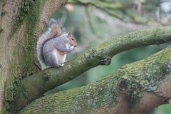 Ardilla en árbol del parque Imagen de archivo libre de regalías