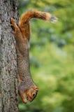Ardilla en árbol que come la cigarra Imagenes de archivo