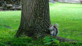 Ardilla en Abbey Garden, St Edmunds, Reino Unido del entierro Foto de archivo