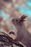 Ardilla en bosque del invierno Fotos de archivo