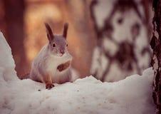 Ardilla en bosque del invierno Foto de archivo