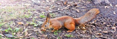 Ardilla en delanteras del otoño Ardilla roja Ardilla Otoño Invierno Bosque fotos de archivo