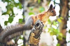 Ardilla en el árbol Imagenes de archivo