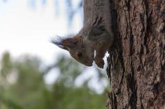 Ardilla en el árbol Fotos de archivo libres de regalías