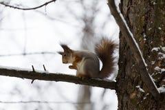 Ardilla en el árbol Foto de archivo libre de regalías