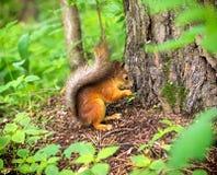Ardilla en el bosque Imagen de archivo