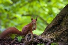 Ardilla en el bosque Imagen de archivo libre de regalías