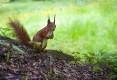 Ardilla en el bosque Fotos de archivo