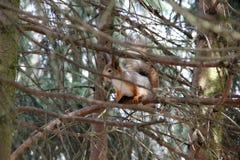 Ardilla en el bosque Foto de archivo