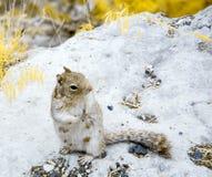 Ardilla en el Gran Cañón en infrarrojo Foto de archivo libre de regalías