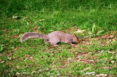 Ardilla en el parque de Cardiff País de Gales Fotografía de archivo libre de regalías