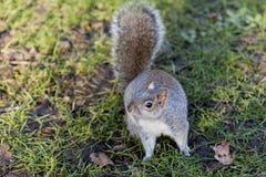 Ardilla en el parque de San Jaime, Londres Foto de archivo libre de regalías