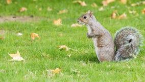 Ardilla en el parque del otoño Foto de archivo libre de regalías