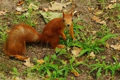 Ardilla en el parque del otoño Fotografía de archivo