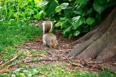 Ardilla en el parque en Cardiff en País de Gales Imágenes de archivo libres de regalías