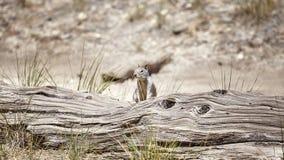 Ardilla en el parque nacional de Yosemite, los E.E.U.U. Fotos de archivo libres de regalías