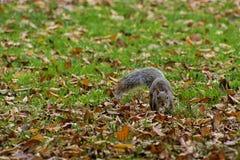 Ardilla en hojas de la hierba verde y del otoño foto de archivo libre de regalías