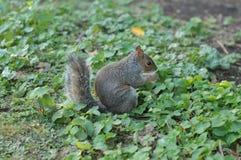 Ardilla en Hyde Park Imagen de archivo libre de regalías
