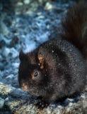 Ardilla en invierno Fotografía de archivo