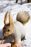 Ardilla en la nieve Imágenes de archivo libres de regalías