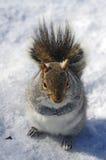 Ardilla en la nieve Foto de archivo