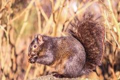 Ardilla en naturaleza salvaje, en otoño Hierba seca y alta Fotografía de la naturaleza fotografía de archivo