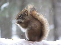 Ardilla en nieve Imagen de archivo libre de regalías