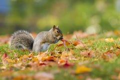 Ardilla en otoño Foto de archivo
