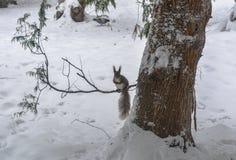 Ardilla en parque de la ciudad del invierno Fotografía de archivo