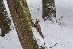 Ardilla en parque de la ciudad del invierno Imagen de archivo libre de regalías