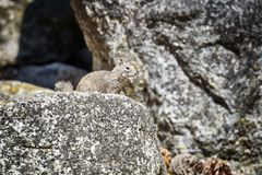 Ardilla en su hábitat natural Fotografía de archivo