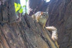 Ardilla en tocón de árbol muerto Imagen de archivo libre de regalías