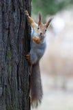 Ardilla en un árbol Foto de archivo libre de regalías