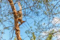 Ardilla en un árbol Imagenes de archivo