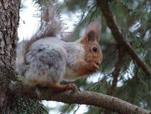 Ardilla en un bosque en un árbol que roe una nuez fotos de archivo libres de regalías